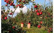 Obstbauer müssen auf Klimawandel reagieren